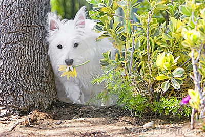 Heathy happy westie in the garden stealing flowers