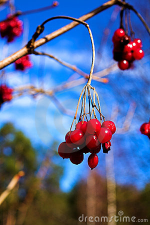Free Heavens And Berries. Royalty Free Stock Photo - 2483065