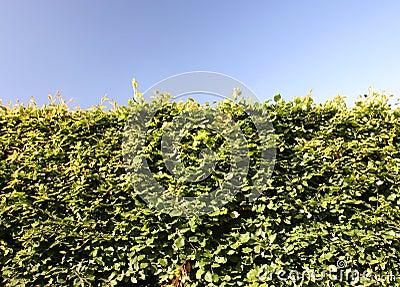 Beech Hedge Green Shrub Barrier