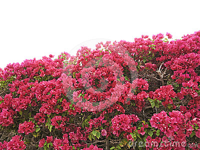Hedge from bougainvillea