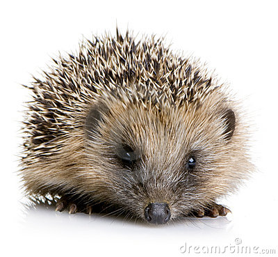 Hedgehog (1 Months) Stock Image - Image: 3152431