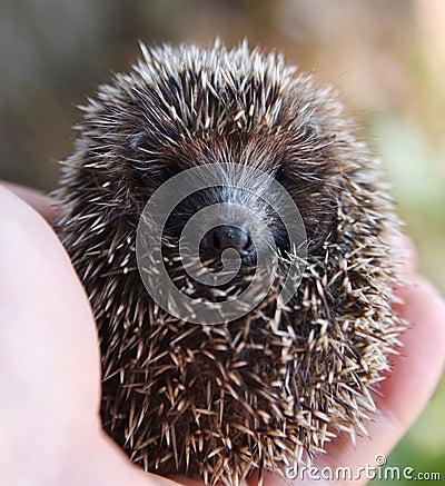 вручает hedgehog