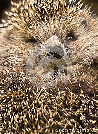 Free Hedgehog Stock Photography - 13589622