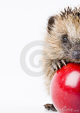 Free Hedgehog Stock Photo - 2190660