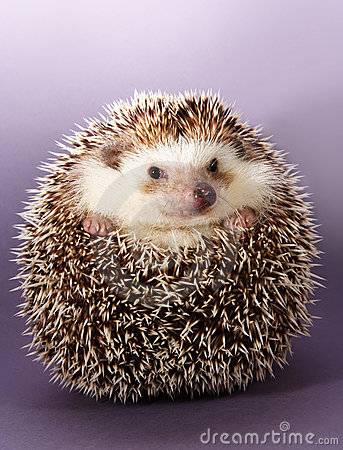 Free Hedgehog Stock Image - 4851591