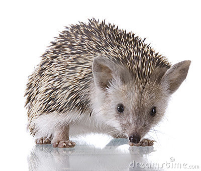 Hedgehog