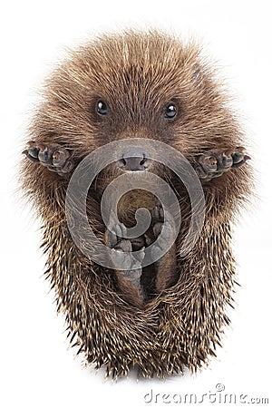 Free Hedgehog Stock Photo - 62602220