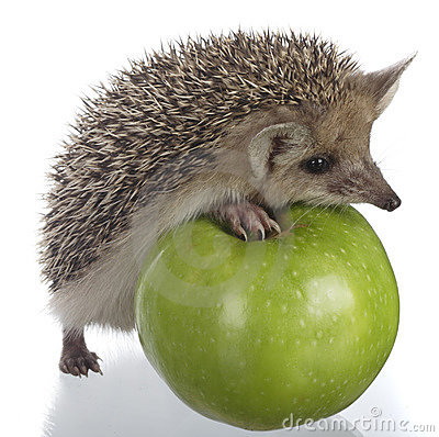 Free Hedgehog And Apple Stock Photo - 9875200