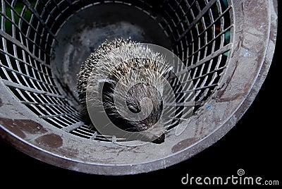 Hedgehog in bucket