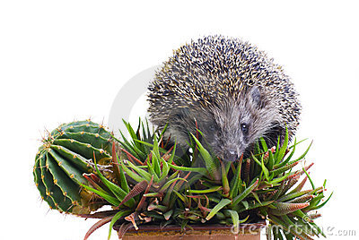 Hedgehog on the cactus and aloe