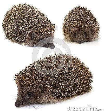 Hedgehog. collage