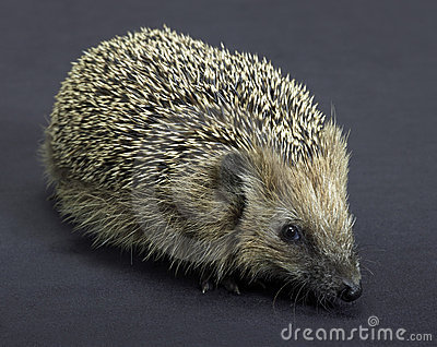 Hedgehog in dark back