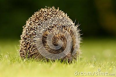 Hedgehog, Erinaceus europaeus