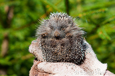 Hedgehog on hands