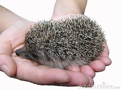 A hedgehog is in hands.