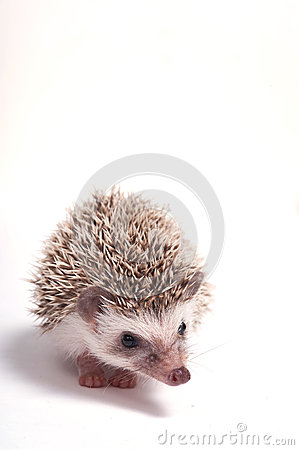 Hedgehog isolate on white background