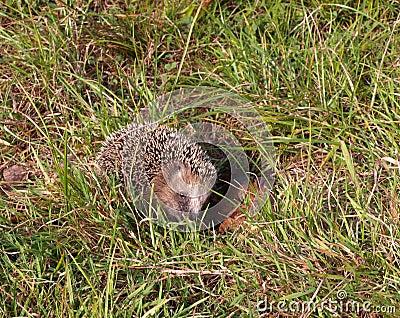 Hedgehog in the meadow