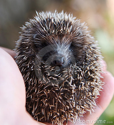 Hedgehog nas mãos