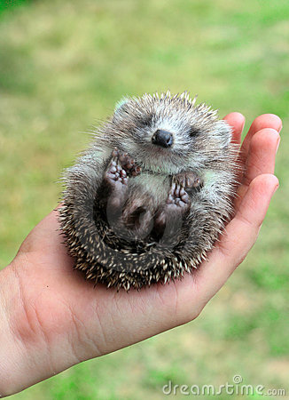 Hedgehog in the palms