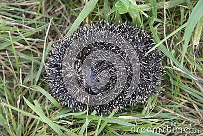 Hedgehog rolls itself in danger in the grass