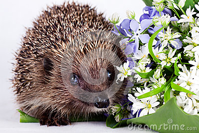 Hedgehog with wild flowers