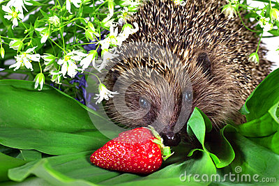 Hedgehog, wild flowers and ripe strawberry
