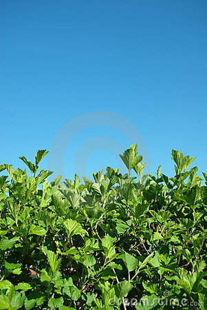 Free Hedgerow Of Shrubs Stock Images - 9536874
