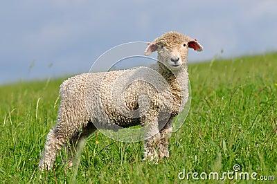 Heedful lamb