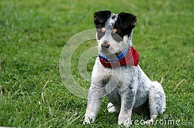 Heeler Pup 11
