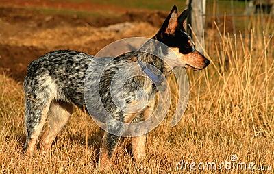 Heeler Pup 20