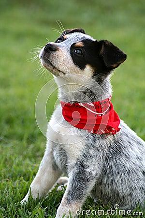Heeler Pup 7