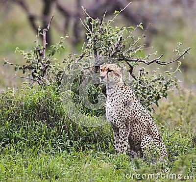Сheetah sitting under an acacia bush