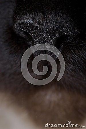 Heiliges birman Katze