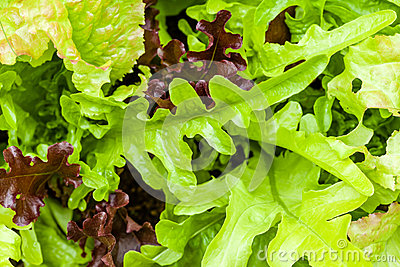 Heirloom lettuce
