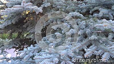 Heldergroene naalden op spruce-takken stock footage