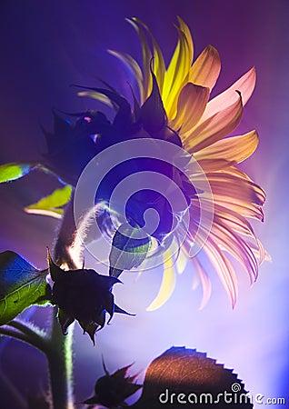 Free Helianthus Stock Photography - 2155092