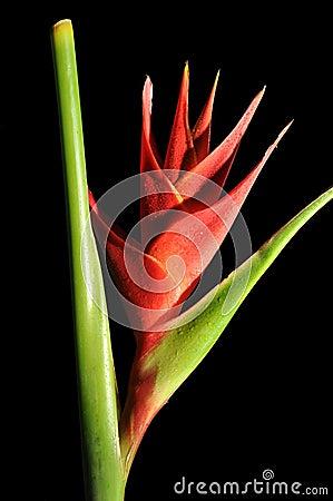 Heliconia Caribea