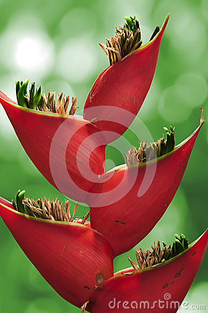 Heliconia flower.