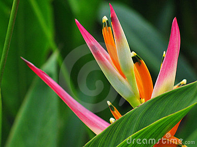 Heliconia flower Bird Paradise