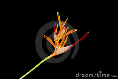 Heliconia Flower on Black