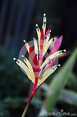 Heliconia flower (heliconia psittacorum) Stock Photo