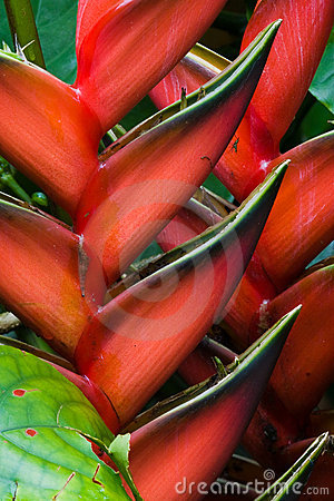 Free Heliconia Flowers Stock Photography - 7258842