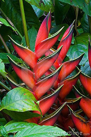 Free Heliconia Flowers Royalty Free Stock Image - 7258846