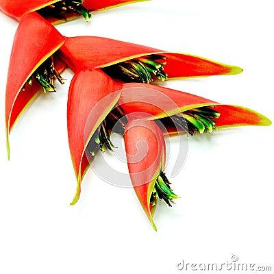 Heliconia isolated Stock Photo