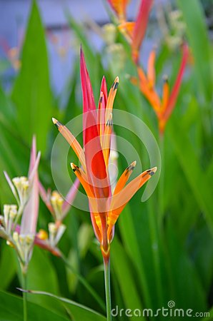 Heliconia psitacorum Costa Rica Tropical Flower