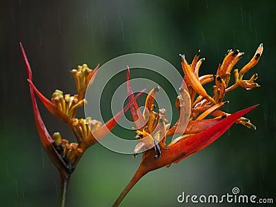 Heliconia in rain