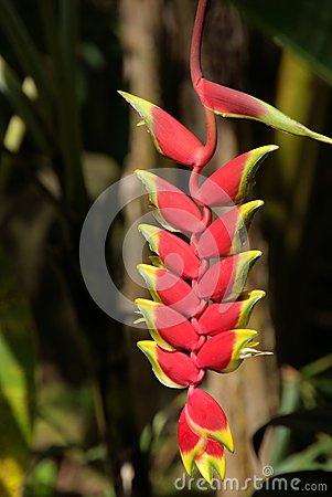 Heliconia Rostrata flower