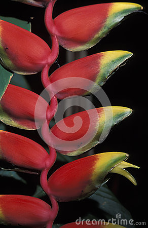 Free Heliconia, Trinidad. Royalty Free Stock Photo - 43392365