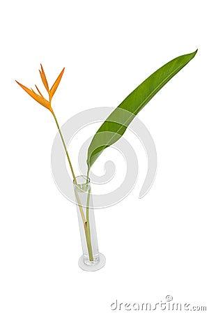 Heliconia in vase