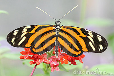 Heliconius Ismenius (Tiger ) Butterfly on Flower